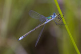 Libelle / dragonfly ??