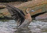 Wintertaling / Ringed teal duck 20060326066