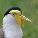 maskerkievit (Vanellus miles)