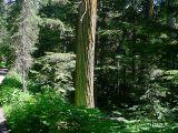 Giant cedar.jpg