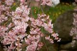 cherry blossom in Hachinohe