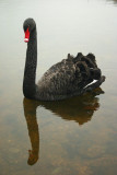 Just swanning about