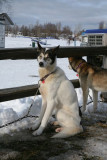 Iditarod_ANC_DogReturn_12Mar2009_ 005.JPG