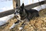 Iditarod_ANC_DogReturn_12Mar2009_ 007.JPG