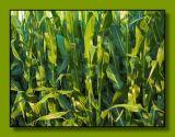 In the corn-belt