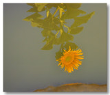Sunflowers 2009