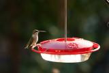 Humming Birds-2.jpg