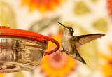Humming Birds-4.jpg
