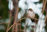 Humming Birds-6.jpg