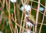 Humming Birds-7.jpg