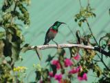 Lesser Doublecollared Sunbird.jpg
