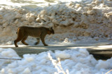 Bobcat encountered on trail