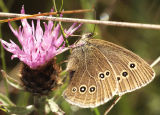 Butterfly andThistle