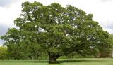 Carroll Oak