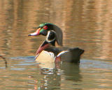 Wood Duck Family Gallery