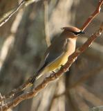Waxwings Gallery