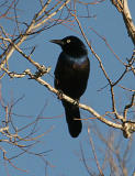 Blackbirds, Starlings, Cowbirds, Grackles , etc. Gallery