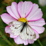 Possibly a small white on a cosmos flower
