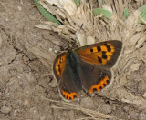 Sooty or Small copper