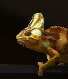 Veiled Chameleon AU8 #2798 (Captive)
