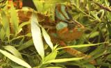 Veiled Chameleon AU8 #2781 (Captive)