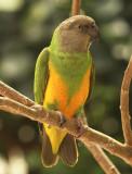 Senegal Parrot AU8 #2775 (Captive)