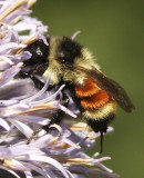 Bumble Bees/Bombus Species