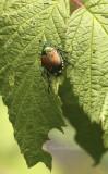 Japanese Beetle - Popilla japonica AU8 #5051