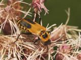 Pennsylvania Leatherwing - Chauliognathus pennsylvanicus  AU8 #2984