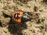 Stink Bug nymph AU8 #5410