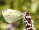 Cabbage Butterfly - Artogeia rapae AU8 #5301
