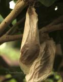 Atlas Moth Cocoon S8 #4882