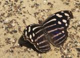 Blue-banded Purple Winged - Myscelia Cyraniris  S8 #4778