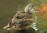 Mandarin Duck S8 #4839