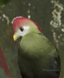 Red-crested Turaco S8 #5020