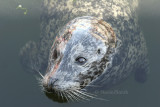Harbour Seal S8 #7797