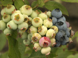 Blueberries - Northland JL8 #1893