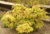 Sutherland Gold - Sambucus racemosa  MY8 #7322