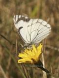 Pine White - Neophasia menapia S8 #8022