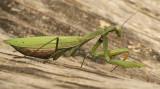 Praying Mantis O5 #0040
