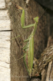 Praying Mantis O5 #0086