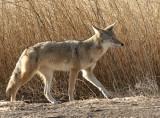 Coyote #3 Jan.14/06