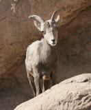 Mountain Goat #12 Jan. 16/06