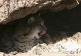 Bobcat #2  Jan. 16/06