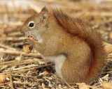 Red Squirrel F9 #8803