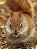 Red Squirrel MR9 #9047
