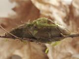 Hyalophora cecropia  Cocoon AP9 #0940