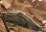 Hyalophora cecropia cocoon AP9 #0948