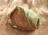 Antheraea polyphemus cocoon AP9 #0934