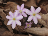 Shades of Hepatica